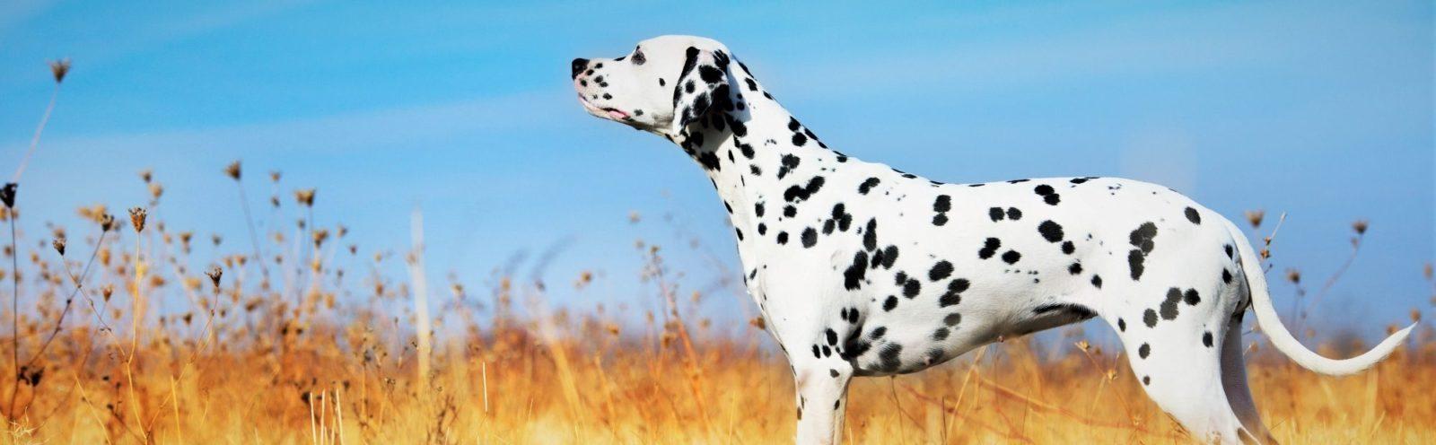 dalmatian in field dog