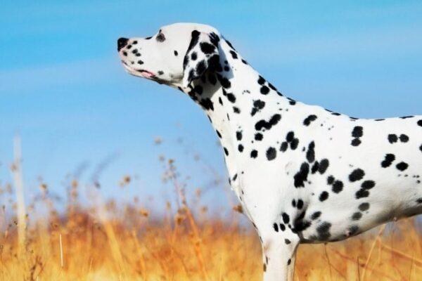 Allergie alimentaire vs intolérance alimentaire chez son animal favori : Quoi faire