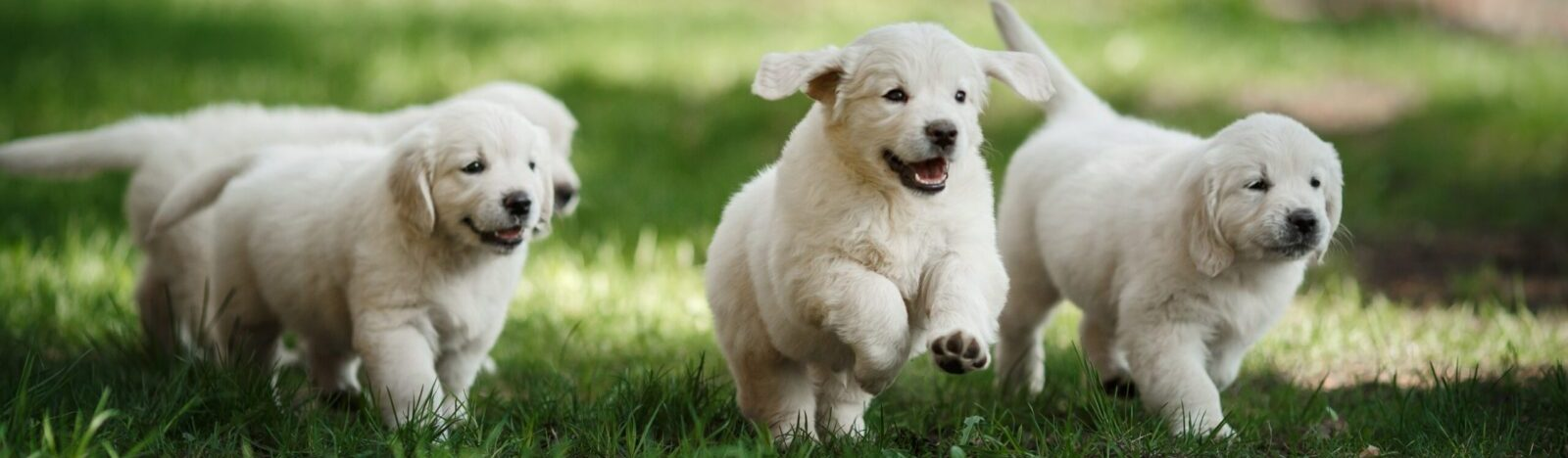 puppies running in grass