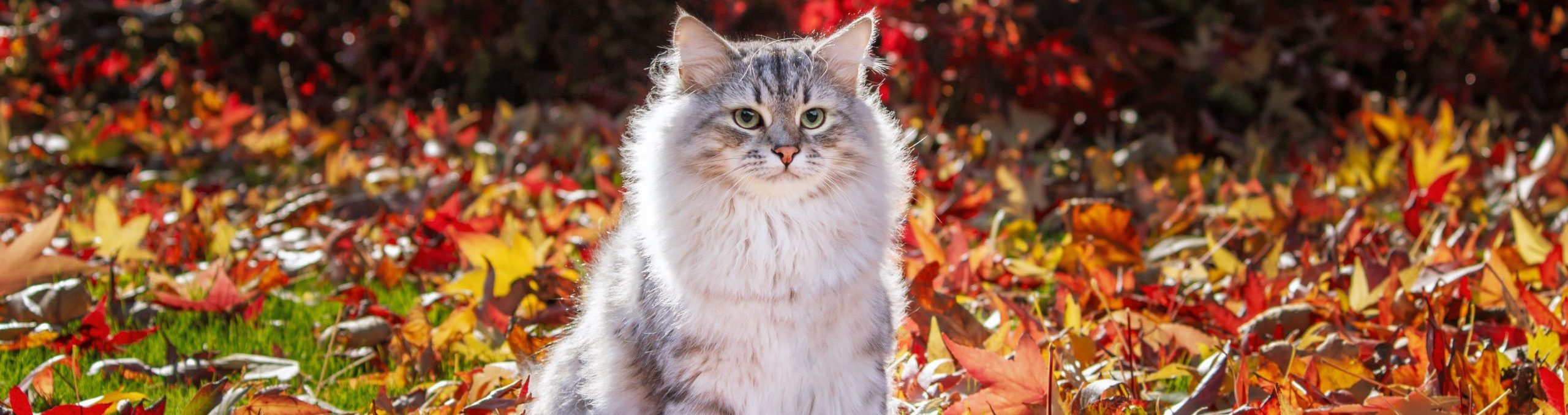 Canadian cat in leaves