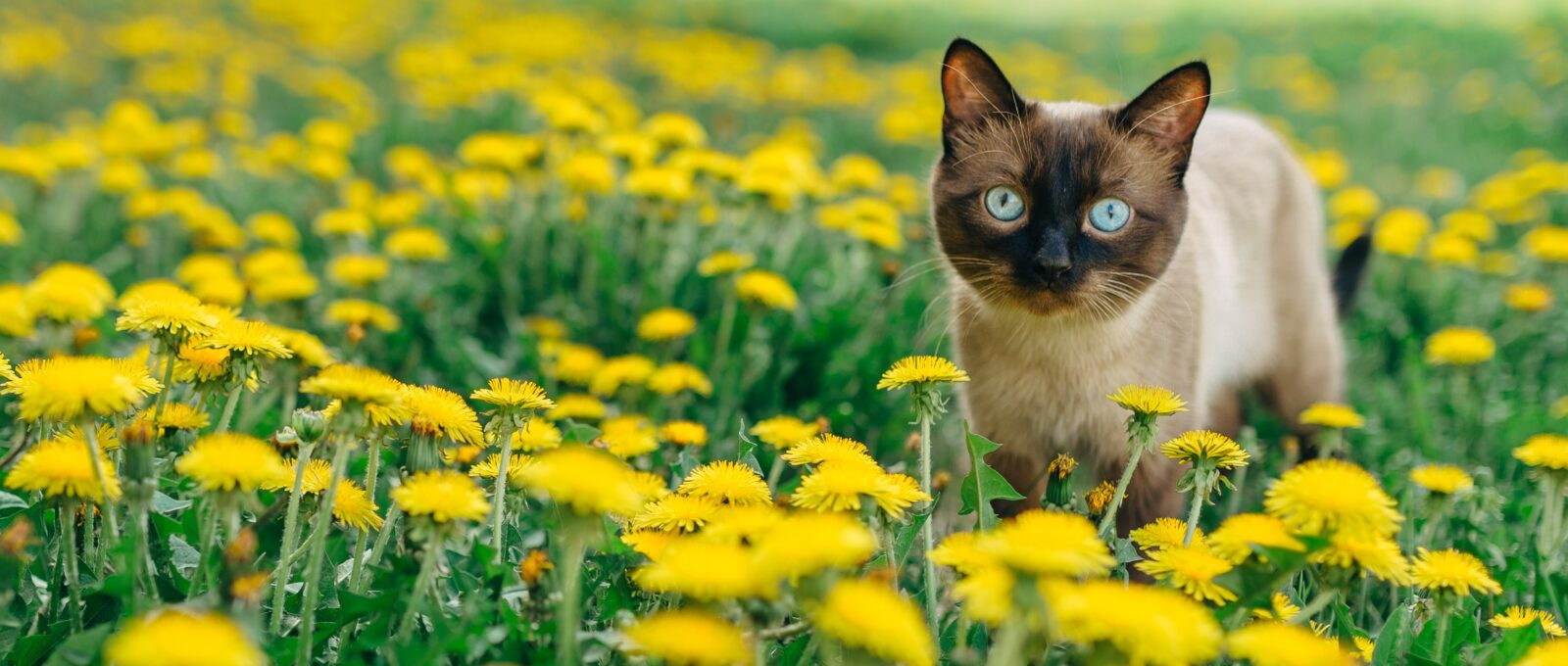 cat in field flowers