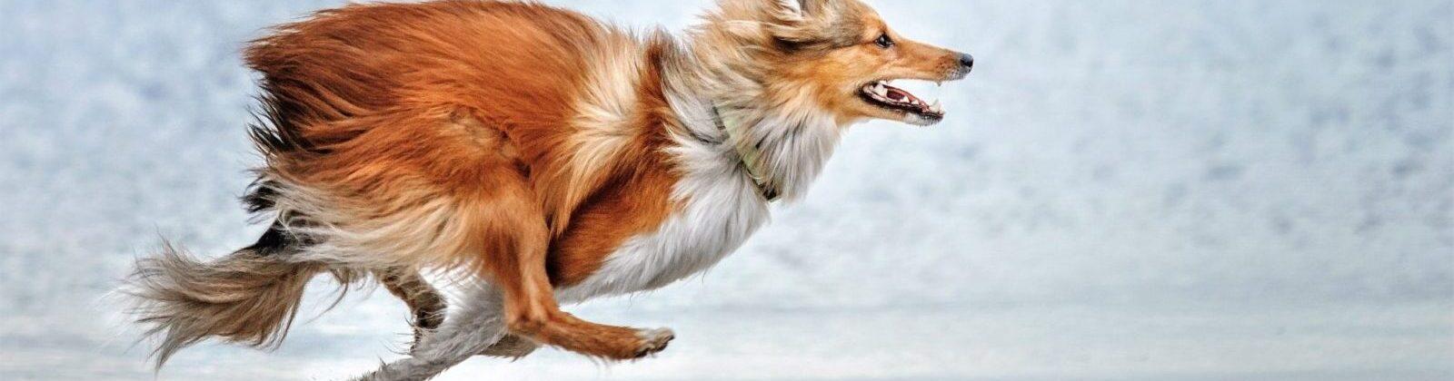 Banner Running Dog