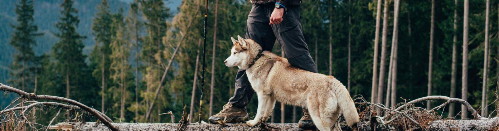 husky hike with man