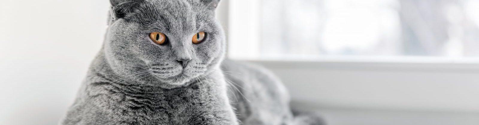 grey-cat