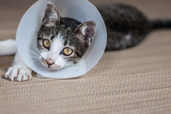 Ce qu'il faut savoir sur la stérilisation des chats