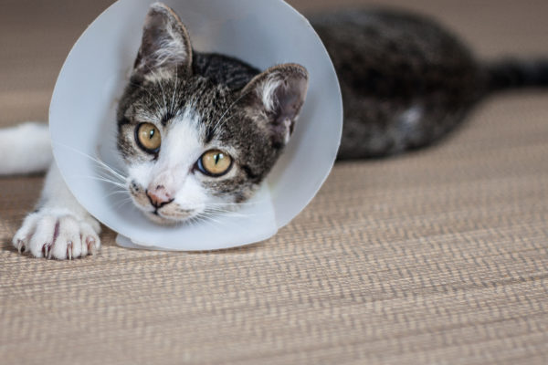 Everything You Need to Know About Spaying or Neutering a Cat