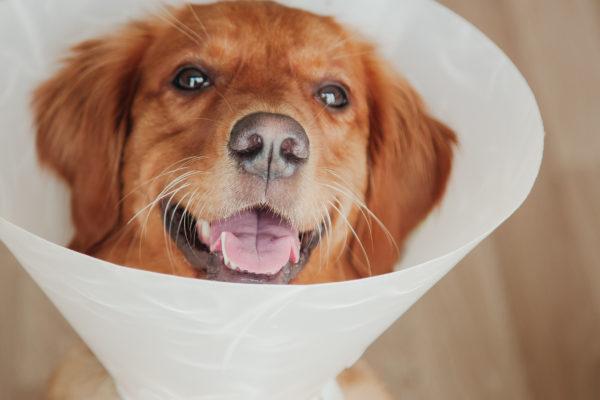 Ce qu'il faut savoir sur la stérilisation des chiens