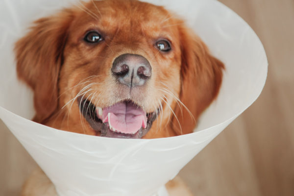 Everything You Need to Know About Spaying or Neutering a Dog