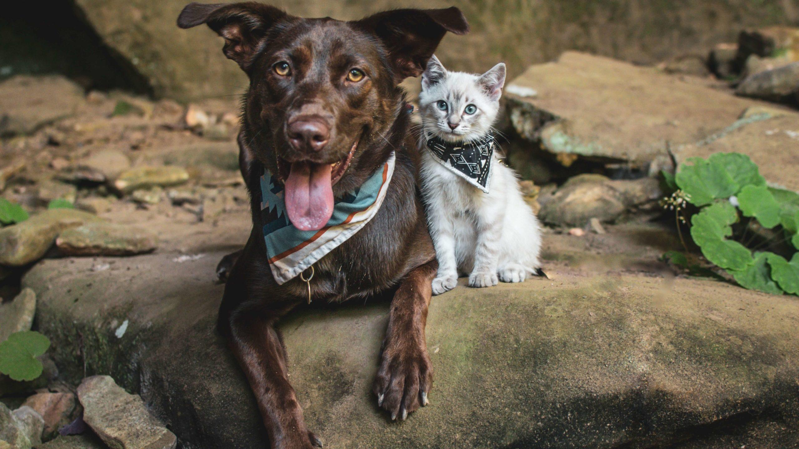 présenter chaton chien chat