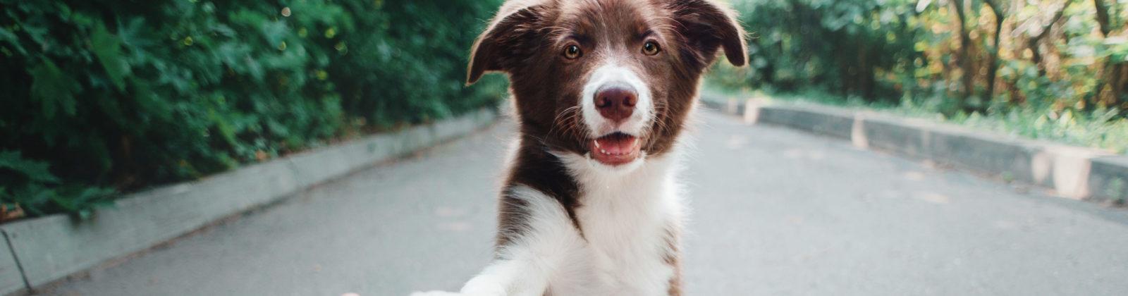 teenage puppy adolescence dog