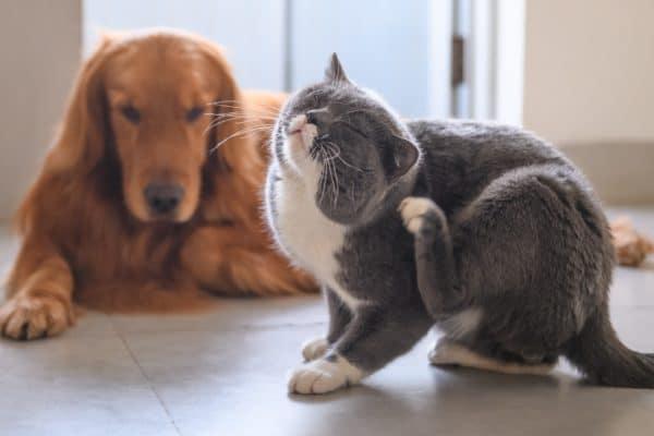 Quelle est la différence entre les allergies environnementales et les allergies alimentaires chez les chats et les chiens?