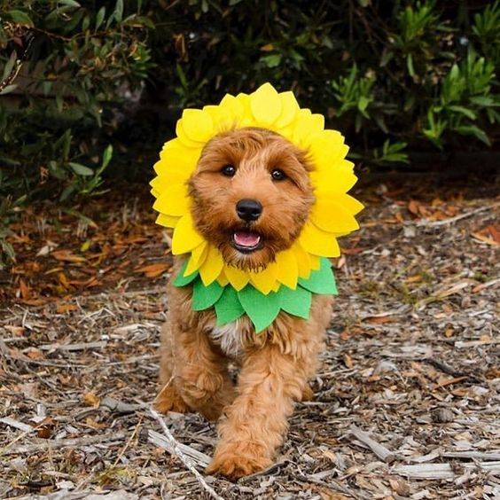 sunflower costume dog